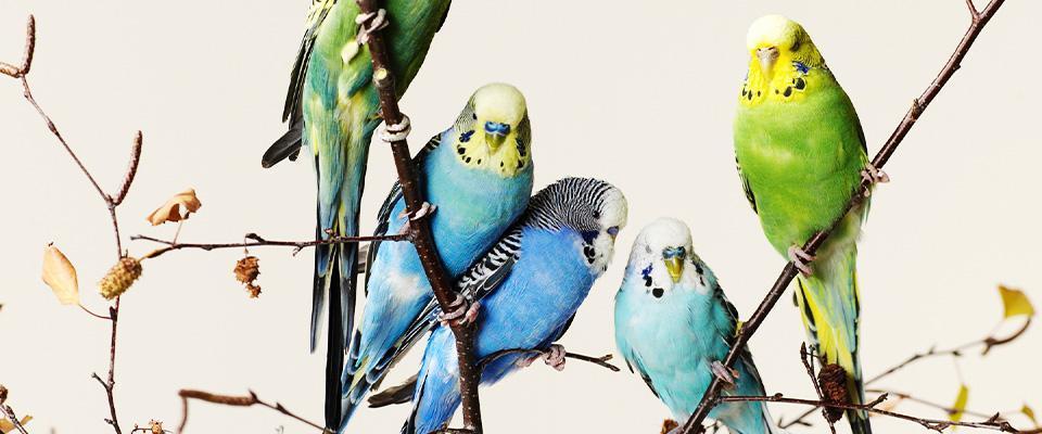 Papugi nagałęzi