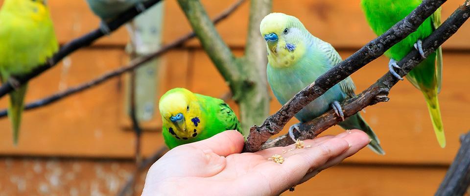 Papugi naręce